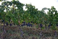 黑葡萄行与束和叶子的 免版税图库摄影