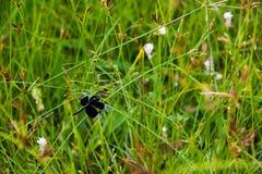 黑蜻蜓坐莎草属rotundus 库存照片