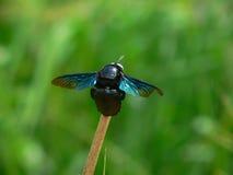 黑蝇 库存图片