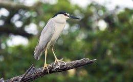 黑被加冠的夜鹭属鸟,Pickney海岛全国野生生物保护区 免版税库存照片
