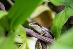 黑被察觉的skink,mabuyidae skinks,站立在森林里 库存照片