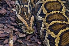 黑被盯梢的或老虎Python特写镜头 库存照片