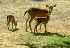 黑被盯梢的母鹿和小鹿 免版税库存图片