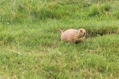 黑被盯梢的草原土拨鼠在加拿大的森林里 免版税库存图片
