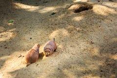 黑被盯梢的草原土拨鼠草原犬鼠ludovicianus是灰鼠家庭的亲属 免版税库存图片