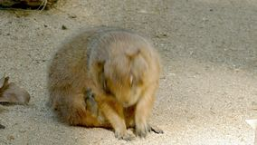 黑被盯梢的草原土拨鼠草原犬鼠ludovicianus 股票视频