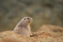 黑被盯梢的草原土拨鼠,草原犬鼠ludvicianus在它的自然环境里 免版税库存图片