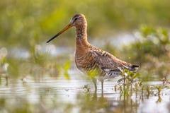 黑被盯梢的黑尾豫趟水者鸟在自然沼泽栖所 库存图片