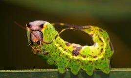 黑被铭刻的突出的飞蛾毛虫特写镜头  库存图片
