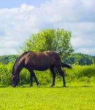 黑褐色马在村庄走和吃草在牧场地 库存照片