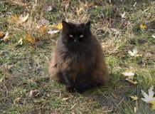 黑西伯利亚猫 库存照片