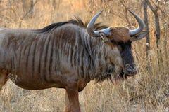 黑角马或白被盯梢的牛羚角马属gnou,南非 免版税图库摄影