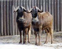 黑角马或白被盯梢的牛羚 库存图片