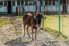 黑角马拉特 角马属gnou羚羊在围场 库存图片