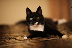 黑说谎在床上在屋子里 看照相机的小猫 图库摄影