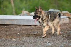 黑貂德国牧羊犬狗户外在夏天 库存照片