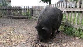 黑越南猪,休息,睡觉在笔,在一个晴天,大,厚实的黑猪,家庭 股票视频