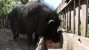 黑越南猪,休息,睡觉在笔,在一个晴天,大,厚实的黑猪,家庭 股票录像