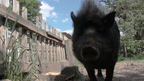 黑越南猪,休息,睡觉在笔,在一个晴天,大,厚实的黑猪,家庭 影视素材