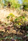 黑醋栗灌木在庭院里 库存图片