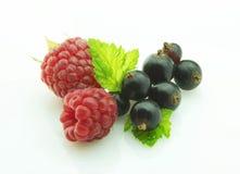黑醋栗莓 免版税图库摄影