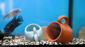 黑镶边cichlasoma保卫他的水族馆的疆土 水族馆 股票视频
