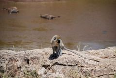 黑长尾小猴马赛马拉全国Reservek肯尼亚 免版税库存照片