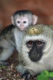 黑长尾小猴&婴孩 免版税库存照片