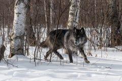 黑阶段灰狼天狼犬座偷偷靠近在森林外面 免版税库存图片