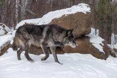 黑阶段灰狼天狼犬座偷偷靠近  库存图片