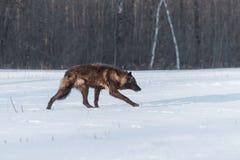 黑阶段灰狼天狼犬座在领域偷偷靠近  库存照片