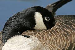黑雁加拿大canadensis鹅 免版税库存图片