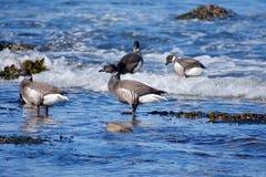 黑雁在海洋站立在点作为波浪在他们附近打破的三叶草附近 库存图片