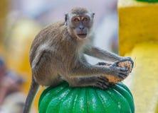 黑风洞,马来西亚猴子  免版税库存照片