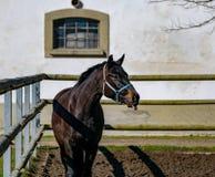 黑马伸出他的舌头 免版税库存照片