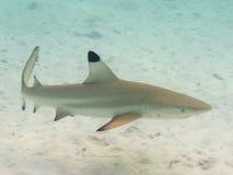 黑鳍鲨 免版税库存照片