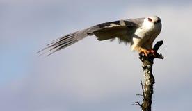 黑鸢姿势担负了唯一 免版税库存图片