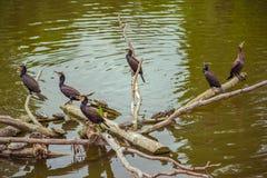 黑鸬鹚鸟坐banches在秋天 图库摄影