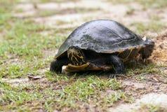 黑鸭乌龟 免版税图库摄影
