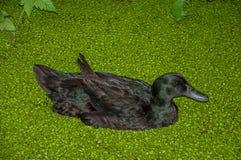 黑鸭游泳在小绿色水生植物盖的运河水中在多云天在Drimmelen 免版税库存照片