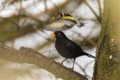 黑鹂在一个分支栖息在森林地 免版税库存图片