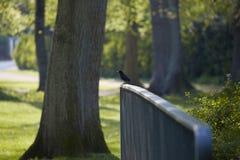 黑鹂在一个温暖的春日,坐栏杆 库存照片