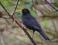 黑鹂栖息与橙色眼睛 免版税库存照片
