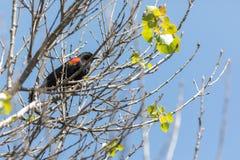 黑鹂栖息飞过的红色结构树 免版税库存图片
