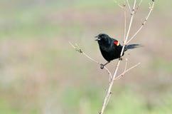 黑鹂栖息飞过的红色结构树 库存照片