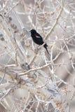 黑鹂红色结构树飞过了 免版税库存照片