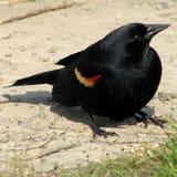黑鹂红色翼 图库摄影