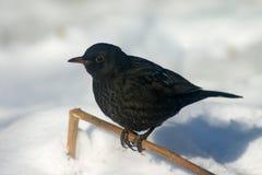 黑鹂雪 库存图片