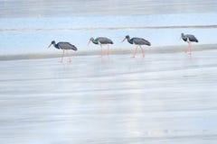 黑鹳在冬天河 库存图片