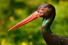 黑鹳细节  : 与红色票据,Ciconia老黑的鸟黑鹳,坐在的巢 免版税库存图片